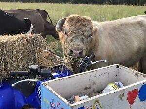 Purebred Scottish highland bull Grandchester Ipswich City Preview