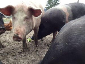 Pigs for sale Cobargo Bega Valley Preview