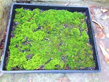 Live green moss North Wahroonga Ku-ring-gai Area Preview