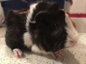 Baby girl Guinea pigs $20 each or $30 for the lot Northmead Parramatta Area Preview