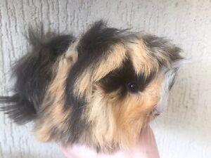 Guinea pig Waitara Hornsby Area Preview
