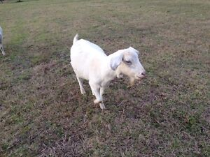 2 Female Goats Together For $150 Lakesland Wollondilly Area Preview