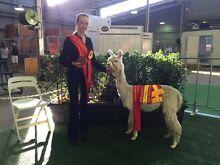 Male Suri alpaca Aberdare Cessnock Area Preview