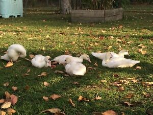 3 x young female Muscovy Ducks Alice River Townsville Surrounds Preview