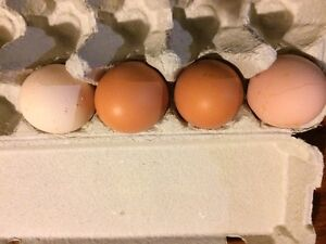Fertile Layer Eggs Samford Valley Brisbane North West Preview