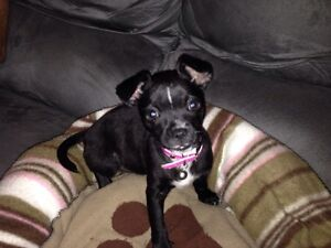 Puppy for Sale Hebersham Blacktown Area Preview