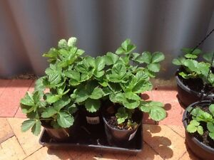 Strawberry plants Waikiki Rockingham Area Preview