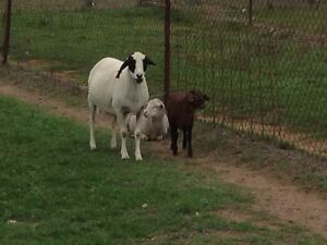 Sheep for sale together or seperate Mount Tarampa Somerset Area Preview