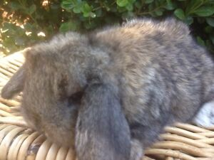 READY IN TIME FOR CHRISTMAS BABY MINI LOP RABBITS Harris Park Parramatta Area Preview
