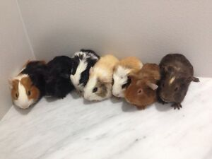 Baby Guinea Pigs Muswellbrook Muswellbrook Area Preview