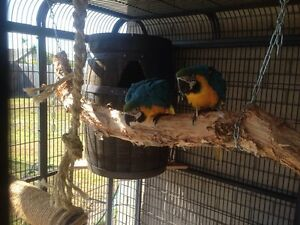 Blue & gold  bonded macaws Kangaroo Point Brisbane South East Preview