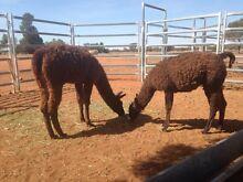 Male llamas Hermidale Bogan Area Preview