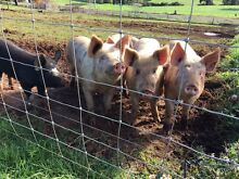 Large white/Berkshire pigs Donnybrook Donnybrook Area Preview
