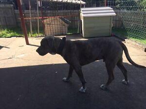 Dog mastiff Bellbird Park Ipswich City Preview