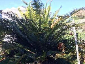 Cycads East Tamworth Tamworth City Preview