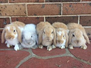 Mini Lop Baby Rabbits - PH  Blacktown Blacktown Area Preview