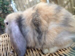 SWEET FRIENDLY BABY PURE BREED MINI LOP RABBIT FOR SALE Harris Park Parramatta Area Preview