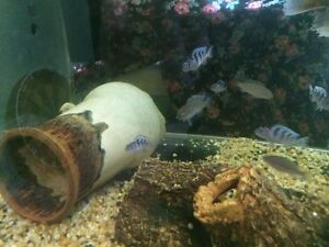 African cichlids Macquarie Fields Campbelltown Area Preview