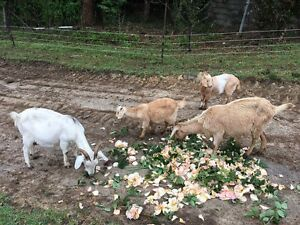 Boer goats Glenorie The Hills District Preview