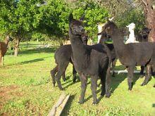 Llama and Alpaca herd Jarrahdale Serpentine Area Preview