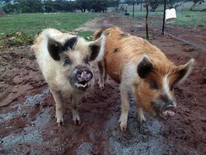 Pigs Toodyay Toodyay Area Preview