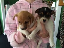 Puppies Coolatai Gwydir Area Preview