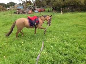 Welsh B gelding Cranbourne East Casey Area Preview