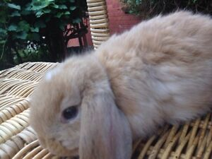 BABY PURE BREED MINI LOP RABBIT FOR SALE Harris Park Parramatta Area Preview