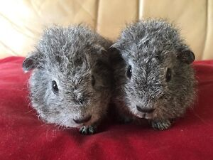 Baby Guinea pigs male x 2 Beacon Hill Manly Area Preview