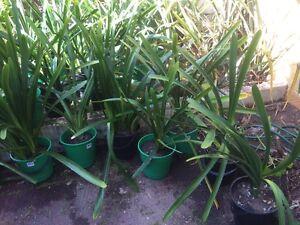 Clivia potted plants Daglish Subiaco Area Preview