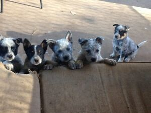 Cattle dog puppies Tallegalla Ipswich City Preview