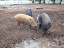 Pigs Heathcote Bendigo Surrounds Preview