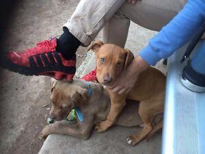 Gumtree Sydney Dogs Puppies