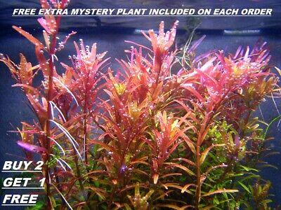 BUY 2 GET 1 FREE Rotala Rotundifolia RED Live Aquarium Plant Aquatic -