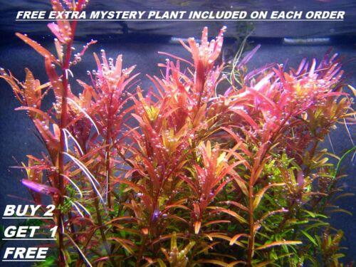 BUY 2 GET 1 FREE Rotala Rotundifolia RED Live Aquarium Plant Aquatic Plant