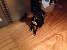 American  Staffordshire Bull Terrier  9 Months Desexed Church Point Pittwater Area Preview
