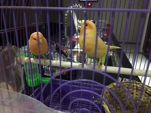 Canary Birds Cecil Hills Liverpool Area Preview