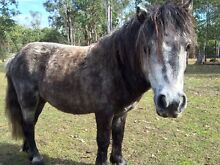 Miniature Pony Stallion Grafton Clarence Valley Preview