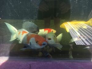 11 koi for sale Willmot Blacktown Area Preview