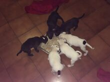 Beautiful English Staffy Pups Deception Bay Caboolture Area Preview