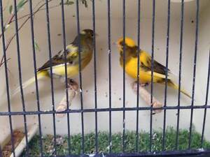 Singing male Canaries Calwell Tuggeranong Preview