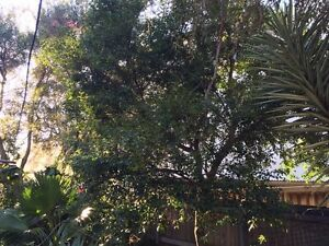 Lily Pilly Tree Waverley Eastern Suburbs Preview