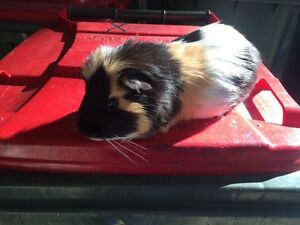 Great breeding guinea pig - Male Hornsby Hornsby Area Preview
