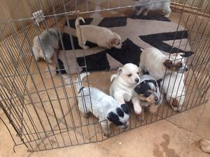 RED BLUE HEELER CATTLE DOG PUPPIES Angle Vale Playford Area Preview