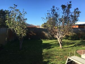 2 red apple trees Morley Bayswater Area Preview
