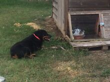 Rottweiler Riverstone Blacktown Area Preview