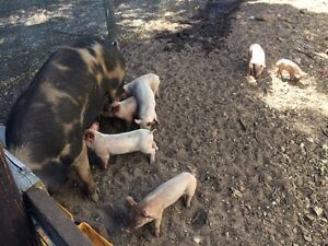 Berkshire/large white x large white piglets Kingston SE Kingston Area Preview