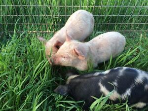 Piglets for sale Burrangong Young Area Preview