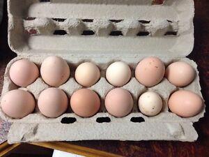 Fertile chicken eggs overstock Wedderburn Campbelltown Area Preview