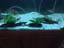 live aquarium plants driftwood Lidcombe Auburn Area Preview